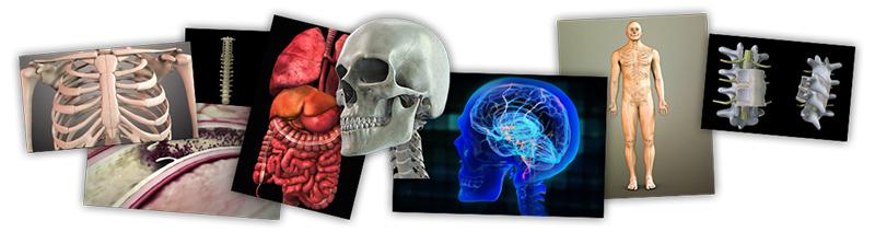 anatomie ELB
